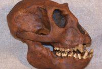 Sejarah Meganthropus Paleojavanicus
