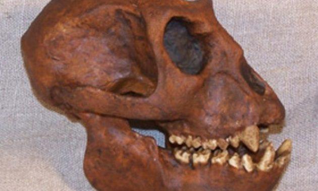 Sejarah Penemu Dan Ciri Ciri Meganthropus Paleojavanicus Lengkap Perpustakaan Id