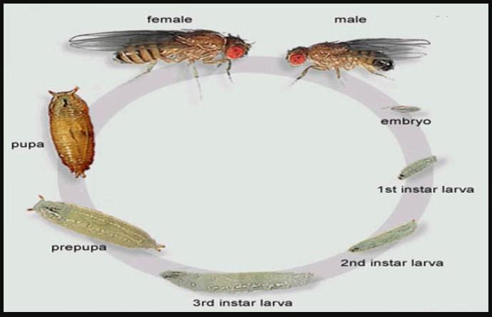 Gambar Metamorfosis Lalat