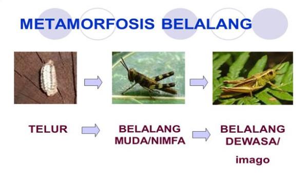 Gambar Proses Metamorfosis Belalang
