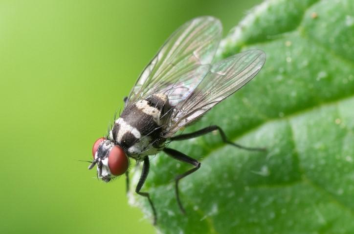 Metamorfosis Lalat